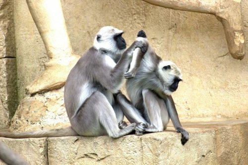 green-monkeys-112279_1920